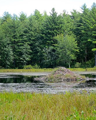 Wendell, Massachusetts - Beaver hut in Ruggles Pond