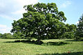 Werrington, oak tree - geograph.org.uk - 457031.jpg