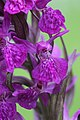 Western Marsh Orchid - Dactylorhiza majalis (18498890435).jpg