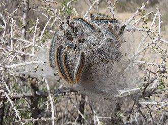 Tent caterpillar - Western tent caterpillars