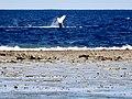 Whale in Maré, New Caledonia.jpg