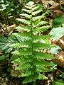 What a pretty fern (4592122494).jpg