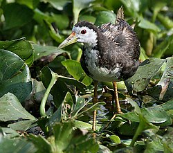 White-breasted Waterhen I IMG 1026.jpg