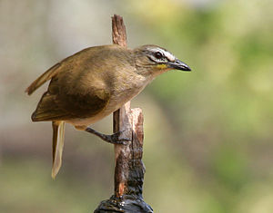 White-browed bulbul - Drinking water (Shamirpet, India)