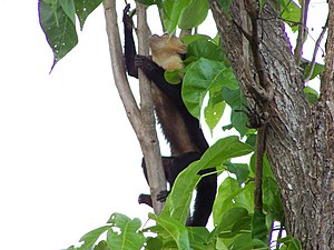 White-headed capuchin - Foraging in the trees