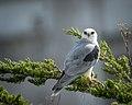 White-tailed kite (39147741434).jpg