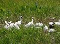 White Ibis Eudocimus albus. (38276936556).jpg