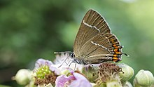 White Letter Hairstreak (9430716950).jpg
