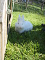 White Lion Head Female Rabbit.JPG