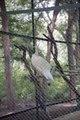 White Peacock at Indroda.tif