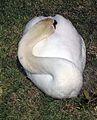 White Swan at Pueblo Bonito Emerald Bay - panoramio.jpg