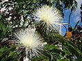 White powderpuff (calliandra haematocephala alba). Sao Paulo Brasil. Latin america tree (3491062059).jpg