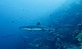 Whitetip Reef Sharks (Triaenodon obesus) (6130122143).jpg