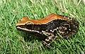 Widespread fungoid frog-Hydrophylax bahuvistara.jpg