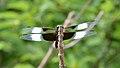Widow Skimmer (Libellula luctuosa) - Kitchener, Ontario.jpg