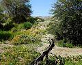 Wild Flowers, Living Desert 3-15 (16589160209).jpg