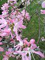 Wild azaleas.jpg