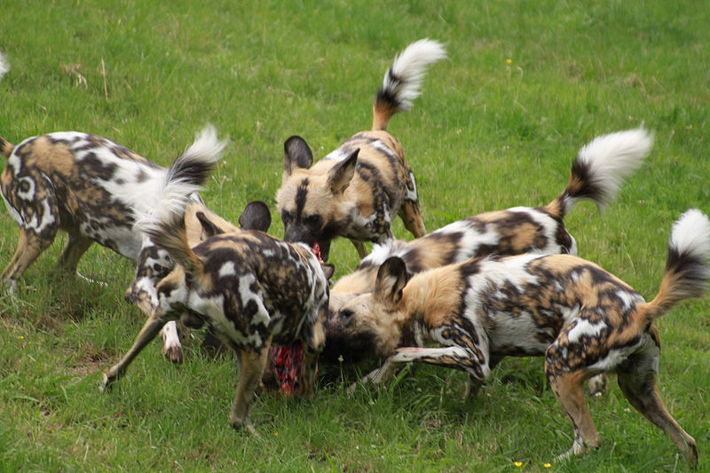 File:Wild dog Lycaon pictus feeding.jpg
