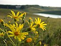 Wild flowers on a sunset - panoramio.jpg