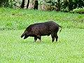 Wild pig (37948082692).jpg
