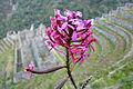 Winaywayna orchid.JPG