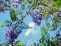 Wind blown Jacaranda flowers, the last of the season... - panoramio.jpg