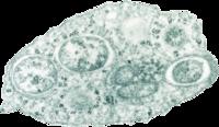 Toezending elektron micrograph van Wolbachia binnen een insect cel. Foto: Scott O'Neill.