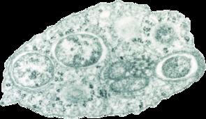 Wolbachia sp. innerhalb einer Insektenzelle