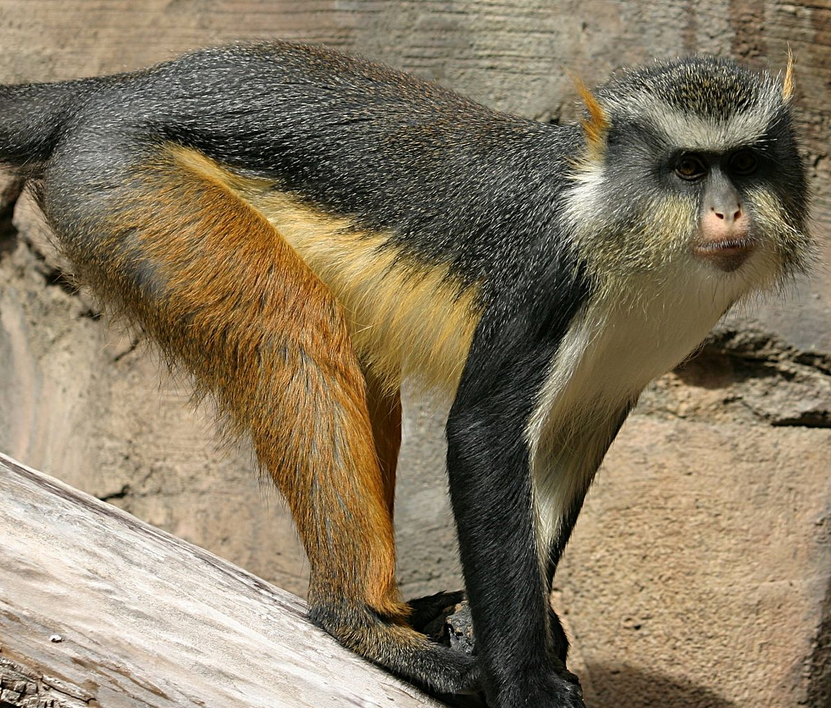 crested mona monkey
