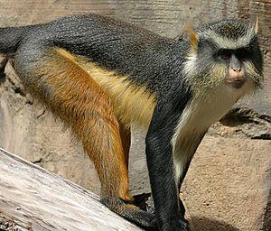 Wolf S Guenon Natural Habitat