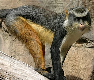 Wolf's mona monkey - Wolf's mona monkey at the Henry Doorly Zoo