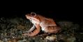 Wood Frog (Rana sylvatica) (6212819117).png