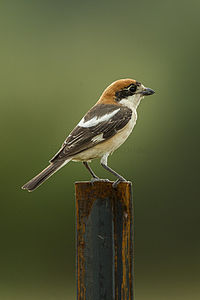 Woodchat Shrike - Estremadura - Spain 2091 (19950943291).jpg