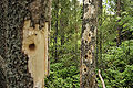 Woodpecker holes 2008.jpg