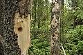 Woodpecker holes 2008.jpg