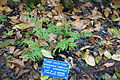 Woodwardia fimbriata - Regional Parks Botanic Garden, Berkeley, CA - DSC04585.JPG