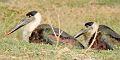 Wooly necked stork, Village Bakarpur pond, Aerpcity , Mohali.jpg