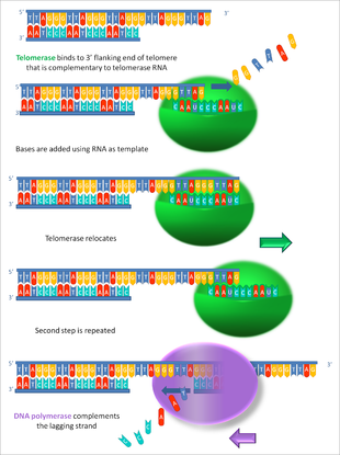 dna damage diagram automobile damage diagram eukaryotic dna replication wikipedia
