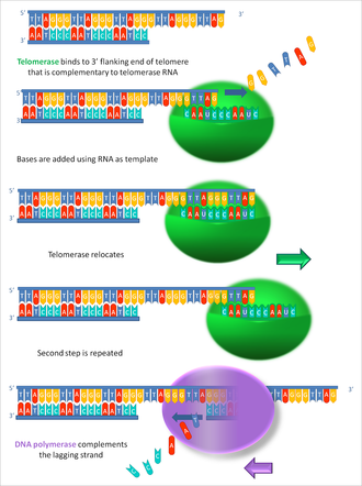 Telomerase - An image illustrating how telomerase elongates telomere ends progressively.