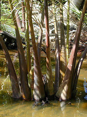 Nypa fruticans - The trunk or stem of the nipa palm is under the mud. Only the leaves project upwards