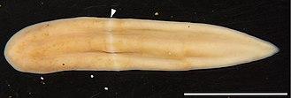 Bilateria - Image: Xenoturbella japonica