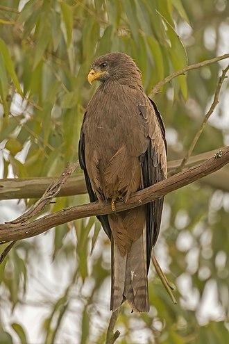 Black kite - M. m. parasiticus Lake Bunyonyi, Uganda