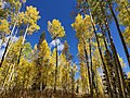 Yellow Aspen trees in Fall.jpg