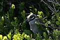 Yellow Crowned Night Heron, NPSPhoto, R. Cammauf (9099319483).jpg