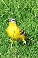 Yellow Wagtail, Janeshwar Mishra Park, Lucknow, Uttar Pradesh (cropped).jpg