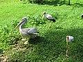 Yellow billed stork and pelican (7856533938).jpg
