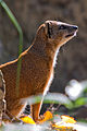 Yellow mongoose (3951760352).jpg