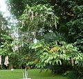 Yellow saraca Jardin botanique de Peradeniya Kandy.JPG