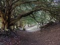 Yew Tunnel, Watlington Hill - geograph.org.uk - 123129.jpg