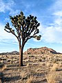 Yucca brevifolia in Joshua Tree National Park in evening sun.jpg